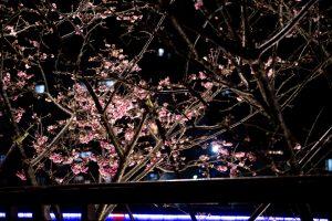 2019-02-01 2019樂活夜櫻季